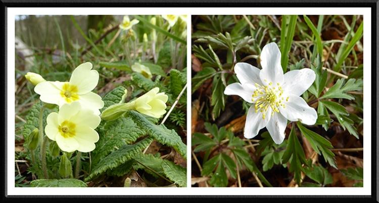 primrose and anemone