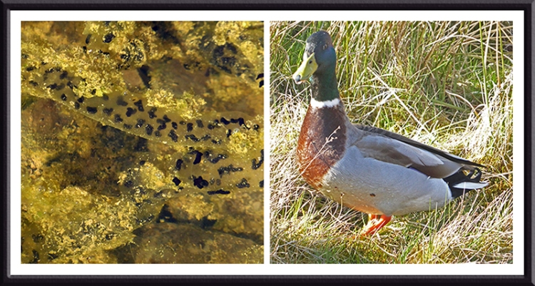 toad spawn and duck