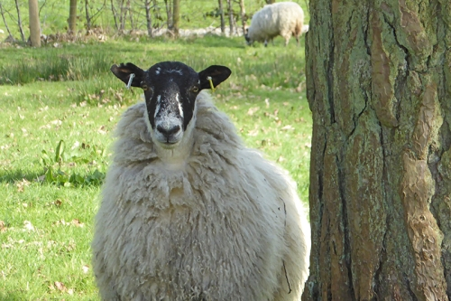 castleholm sheep