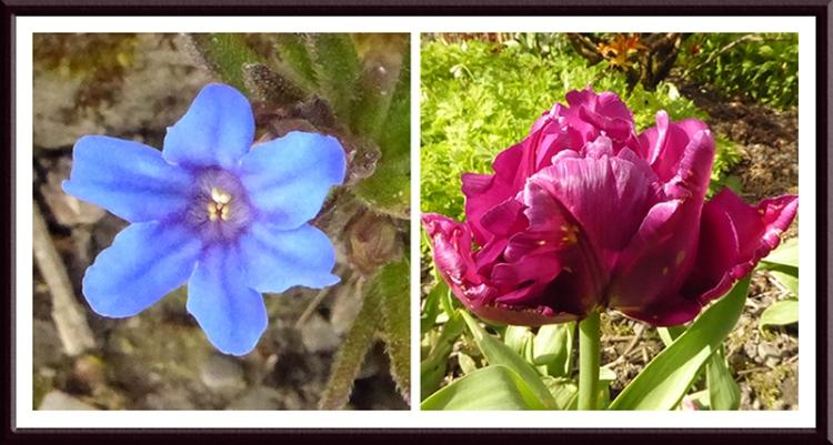 lithospermum and tulip