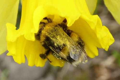 bee in daffodil