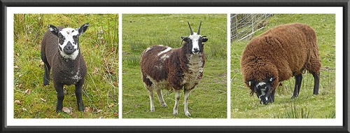 mixed sheep