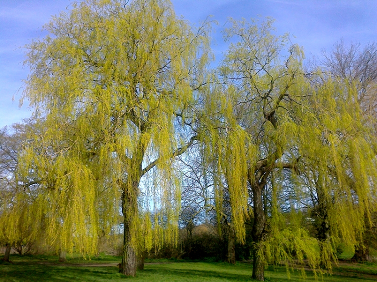 Weeping willows, Parliament Hill Fields