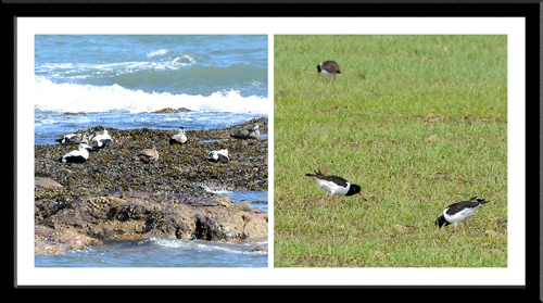 eider and oyster catcher