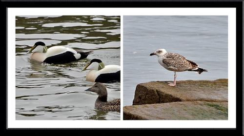 eider and gull