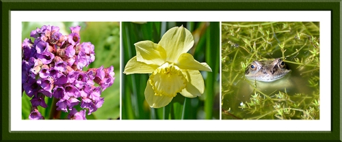 bergenia, late daffs and a cheery frog