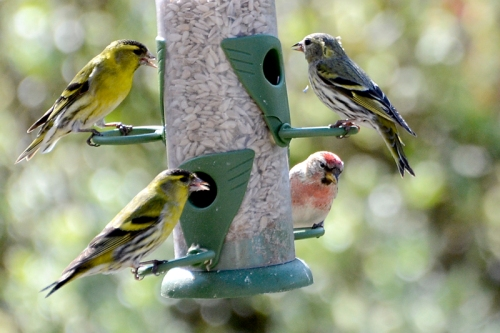 siskins and redpoll