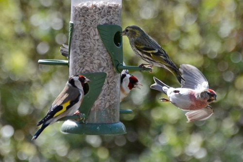 siskin goldfinch and redpoll