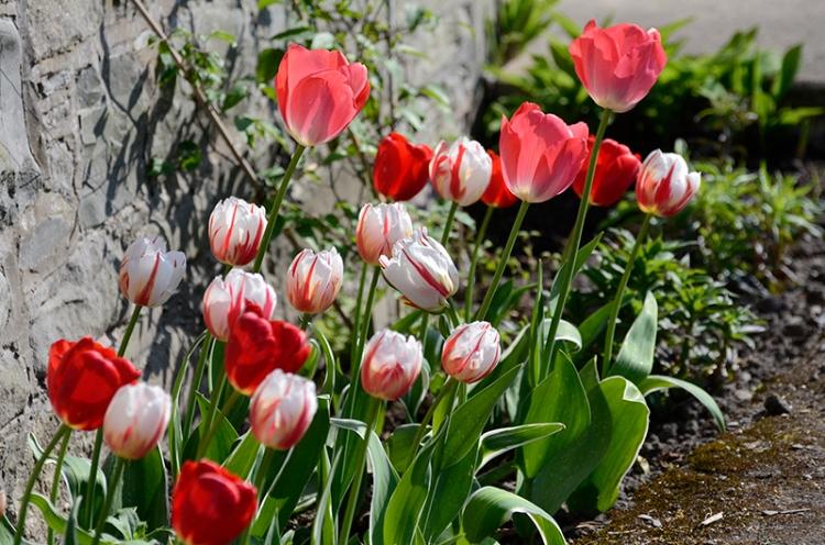 front door tulips
