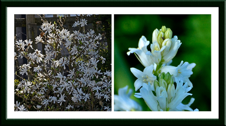 Magnolia and Spanish bluebell