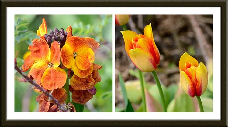 wallflower and new tulips