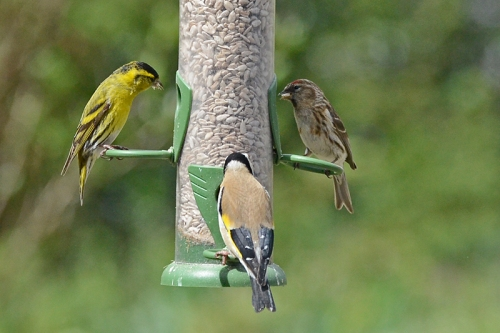 siskin, redpoll and goldfinch