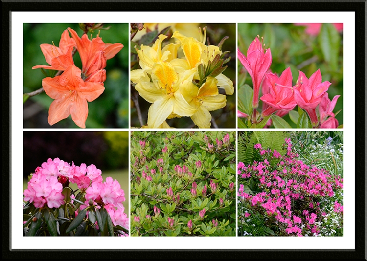azaleas and rhododendron