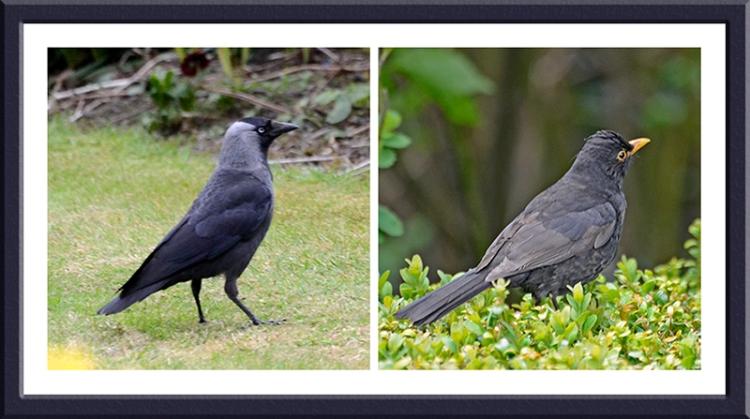 jackdaw and blackbird