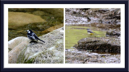 wagtails