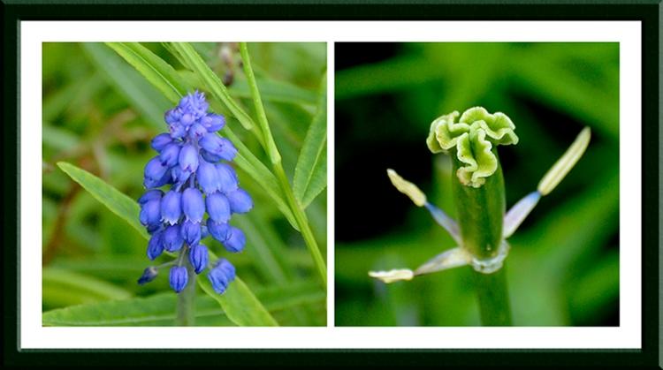 hyacinth and tulip