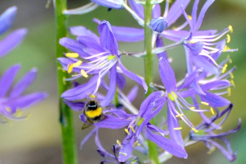 bee on camassia