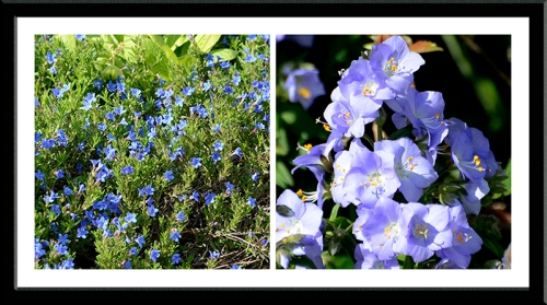 lithodora and polemonium