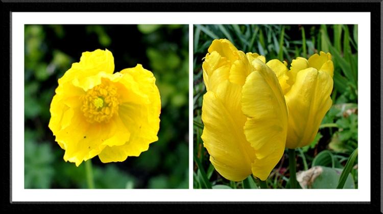 poppy and tulip