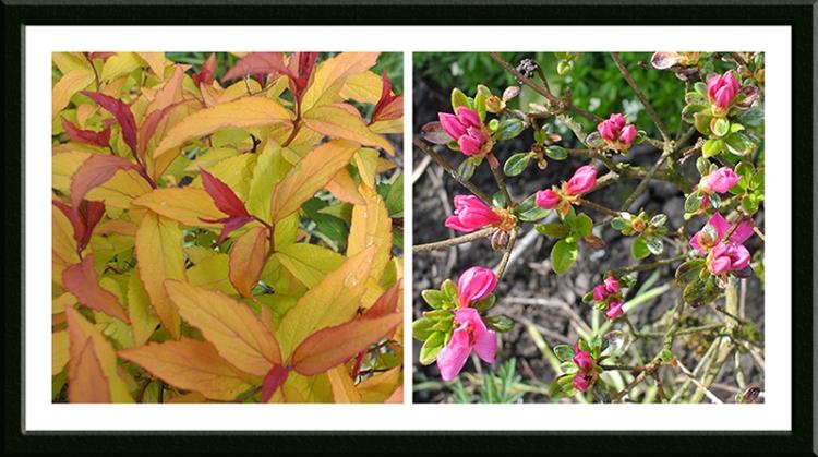 spirea and Japanese azalea