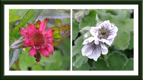 Astrantia and geranium