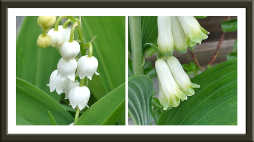 Lily of the valley and solomon's seal