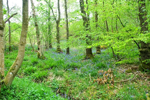Bluebells on gaskells