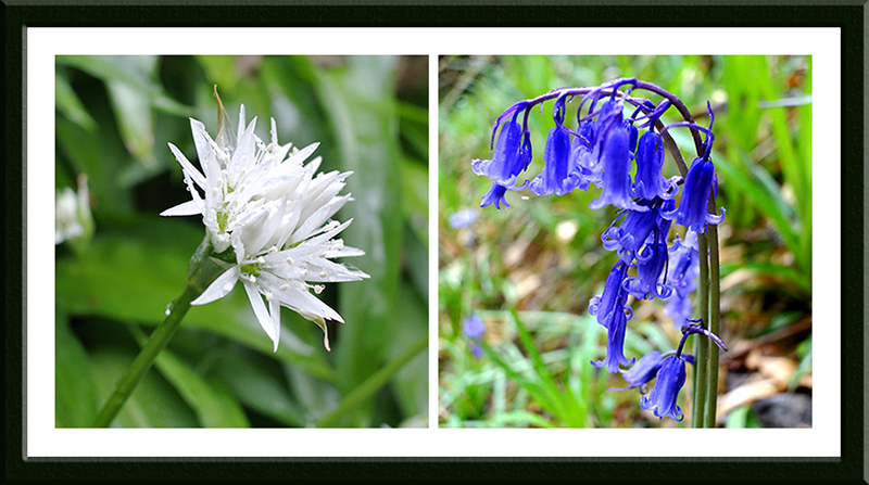 garlic and bluebell