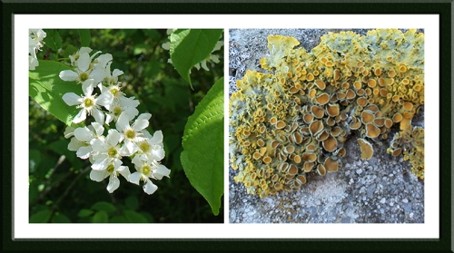 blossom and lichen