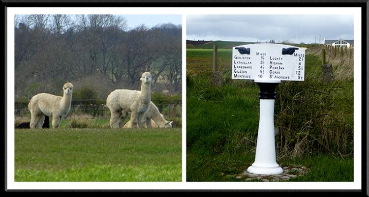 alpaca and signpost