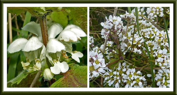 dead nettle and white flower