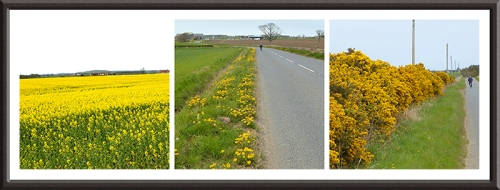 rape, dandelion and gorse