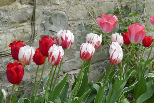 front tulips