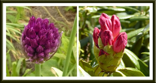 Allium and Rhododendron