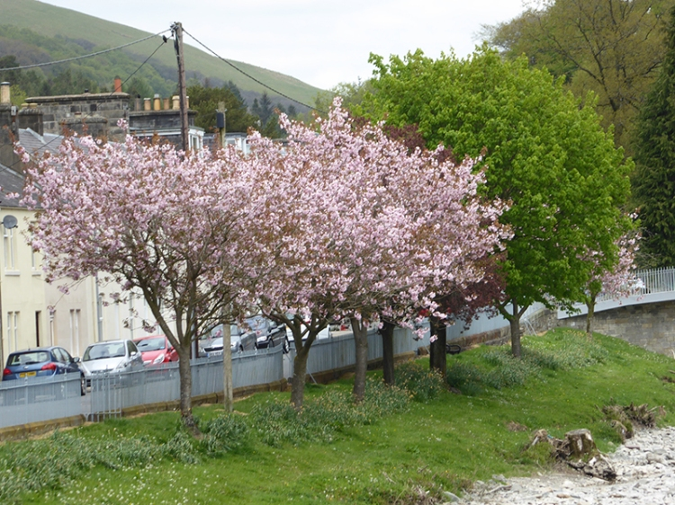 blossom by river