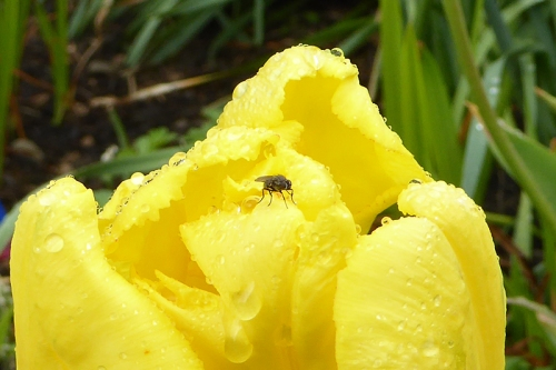 Fly on wet tulip