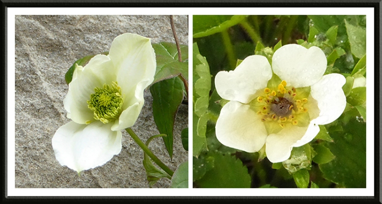 clematis and strawberry