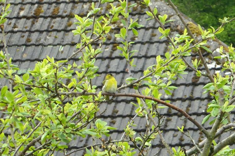 siskin in plum tree