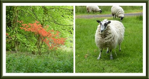 azalea and sheep