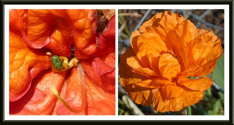Azalea and poppy