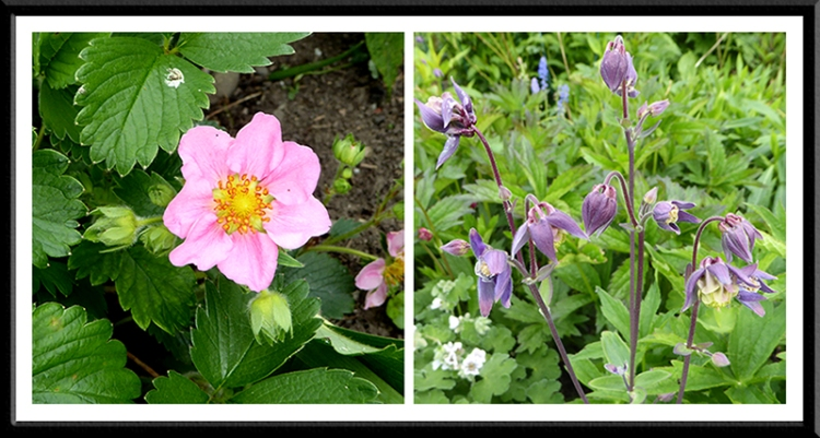 pink strawberry and aquilegia