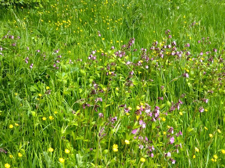 Castleholm Wildflowers