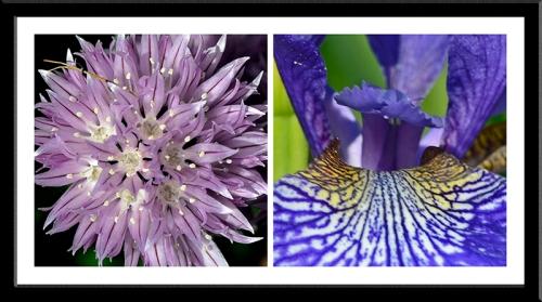 chive and iris