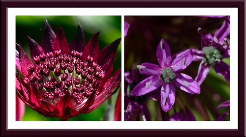 astrantia and allium