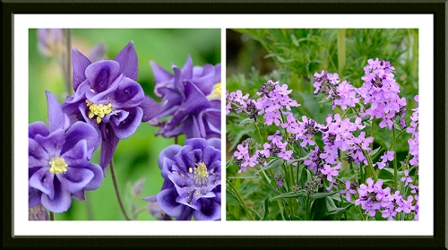 aquilegia and sweet rocket