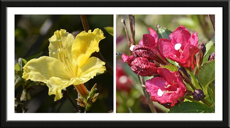 azalea and weigela