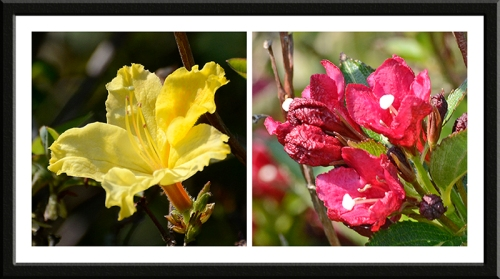 azalea and weigela