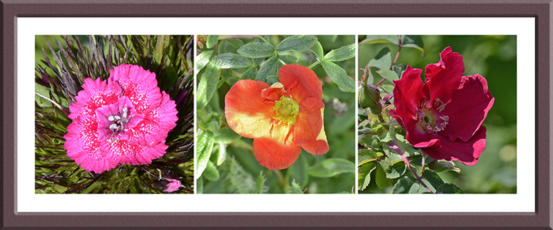 Sweet William, potentilla and a rose