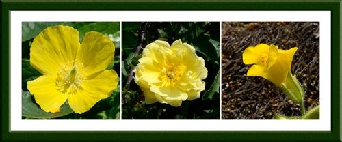 Welsh poppy, rose and musk