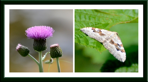 thistle and moth